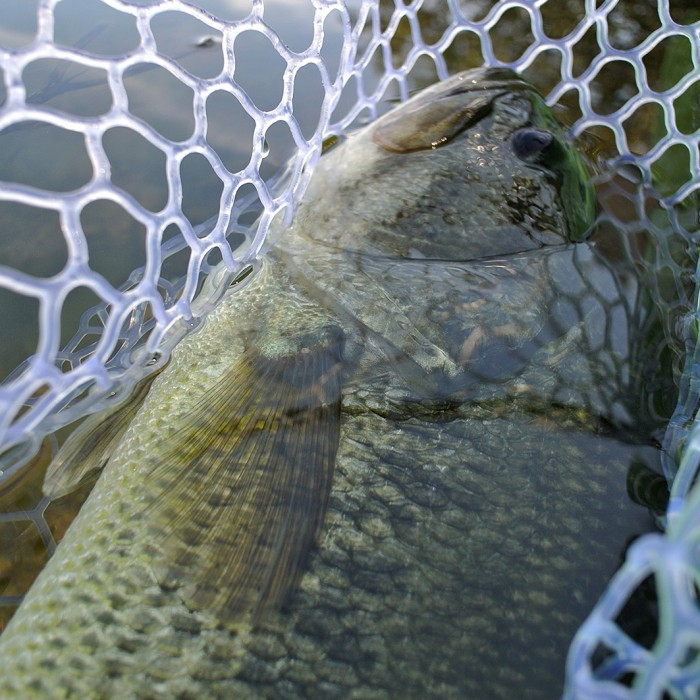 Black Bass Close-up